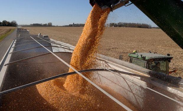 En la plaza local los negocios por maíz con descarga inmediata mantienen la intensidad, ante los grandes compromisos externos asumidos.