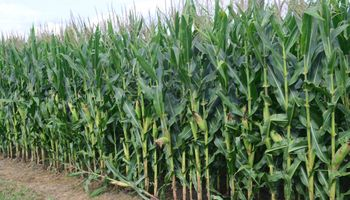 Importantes lluvias le dan un piso de 40 M Tn a la producción de maíz