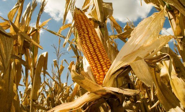 Agroindustria aprobó un nuevo evento para maíz.