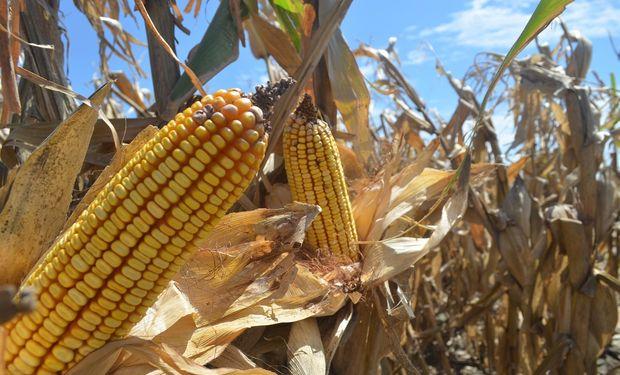 Se proyectó la producción mundial de maíz en 1003 millones de toneladas