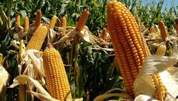 DONMARIO reafirma su compromiso con el productor y presenta nuevos híbridos de maíz