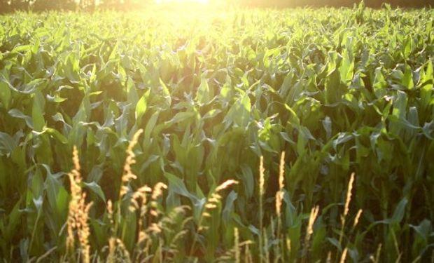 Coberturas cortas para el maíz en CBOT.