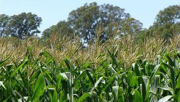 El negocio del maíz es aumentar el rendimiento