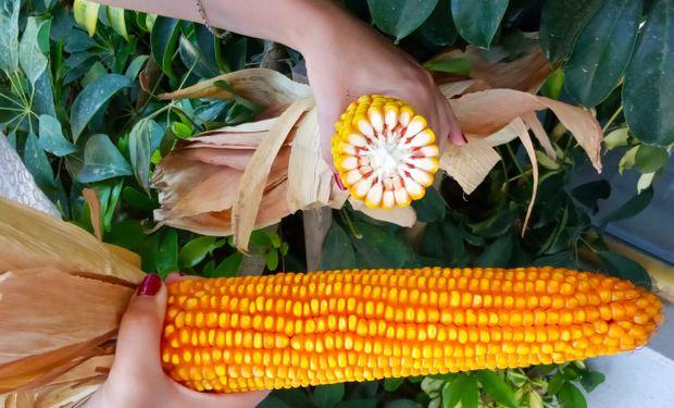 Maíz: semillera de capitales nacionales recomienda sembrar menos plantas para que rinda más por hectárea