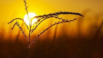 Temperaturas extremas en plena campaña: cómo impactan sobre el rendimiento del maíz