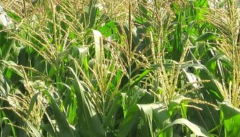 """Gobierno definió al maíz como """"oleaginosa"""""""