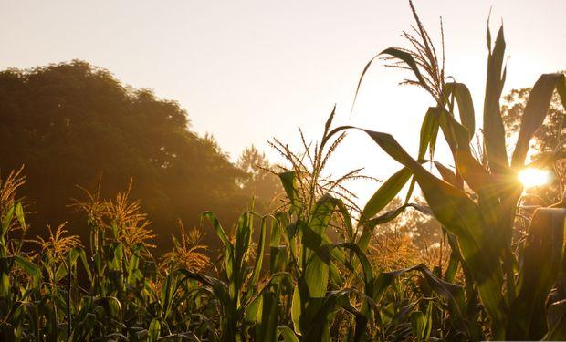 Preocupa la falta de maíz