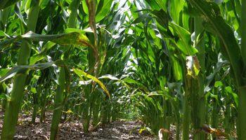 Continúa cauto el mercado local de maíz