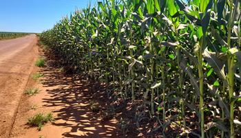 El maíz se acerca a US$ 300 en Chicago, un 125% más que hace un año con una brecha del 133% contra Rosario