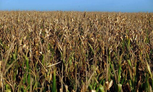 Mínimos desde 2009 para el maíz en Chicago: cuánto pagan en Rosario
