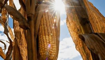 Gracias a la mejora del petróleo, continúan las subas para el maíz en Chicago