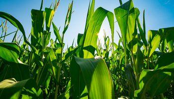 Mejoró la condición del maíz en Estados Unidos y hay bajas en Chicago