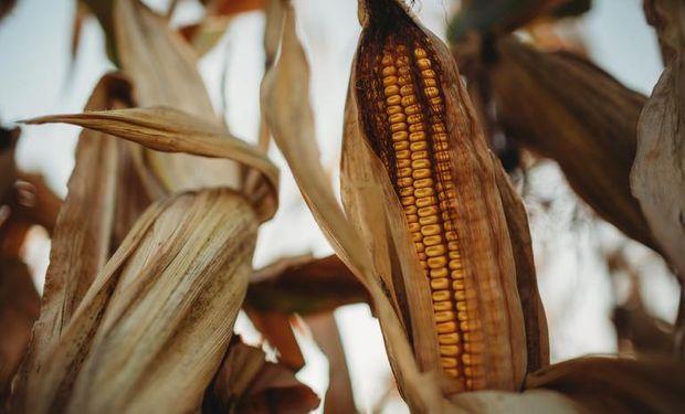 Golpe bajista para soja, trigo y maíz impactó sobre los precios de Rosario