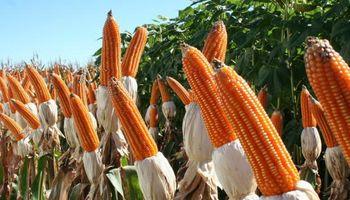Maíz: el cultivo que más crecerá en el mundo