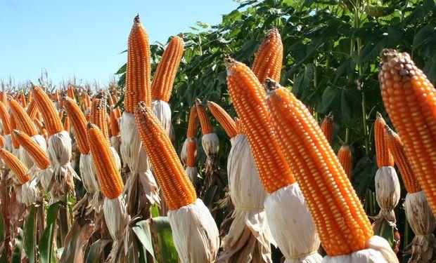El maíz flint tiene un potencial de rinde inferior a los híbridos comerciales de maíz convencional.