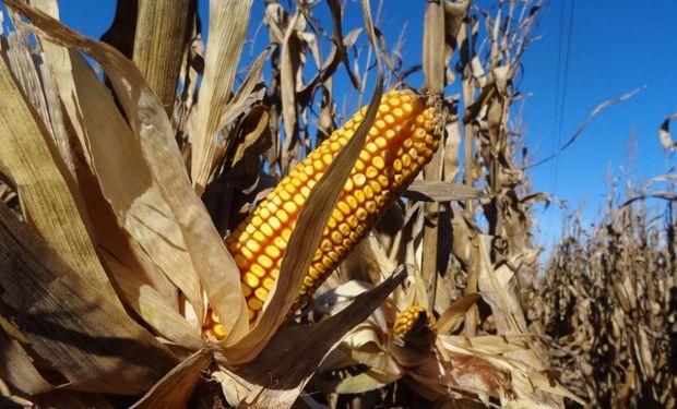 Los rindes del maíz temprano: promedios de 6 zonas productoras