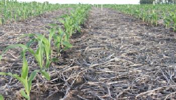 Para el maíz, mejor evitar el distanciamiento: revelan la distancia ideal entre hileras para la siembra