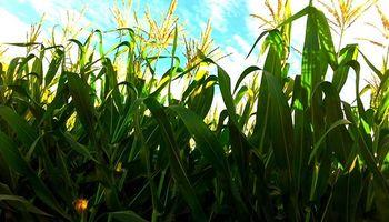 Excelente estado del maíz de primera en la zona núcleo