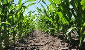 Maíz: investigadores argentinos identificaron los mecanismos fisiológicos que dan tolerancia a la alta densidad de siembra