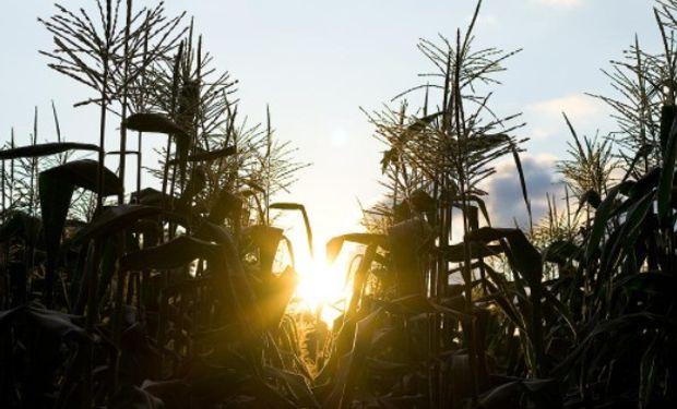Área de siembra de maíz de Argentina alcanzaría un nuevo récord por segunda temporada consecutiva.