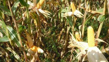 Maíz: las labores de cosecha comenzaron con gran velocidad este año