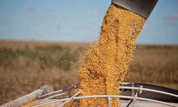 Esta campaña, el maíz tendrá mayores rendimientos gracias al aumento de las precipitaciones. Foto: Daniel Acker/Bloomberg