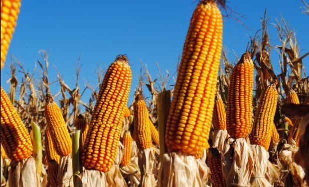 El precio del maíz argentino se mantuvo muy firme ayer.