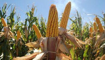 Estimaciones con cifras dispares: maíz, el más problemático