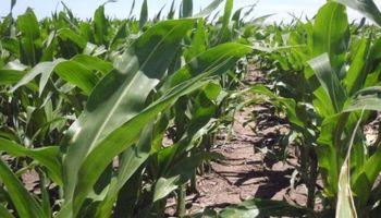 Nuevas reglas: se duplicó el margen bruto del maíz