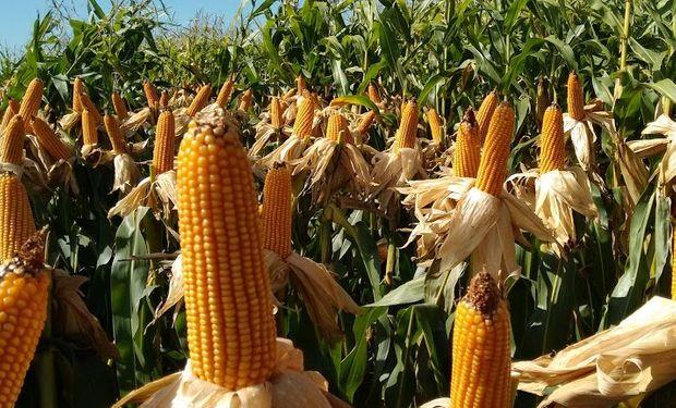 Una superficie sin precedentes en los registros de la Bolsa de Cereales.