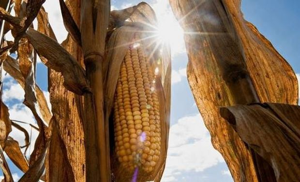 Volvió la rentabilidad del maíz en el norte del país.