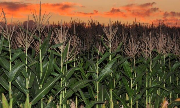 Este dato resulta fundamental para las etapas de cosecha, transporte, almacenamiento y molienda seca, entre otros.