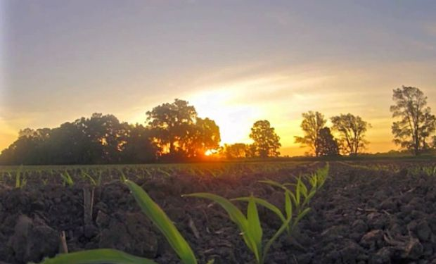 Gran parte de la cosecha de maíz en el medio oeste está atravesando su fase clave de polinización, etapa en la cual se determinan los rendimientos.