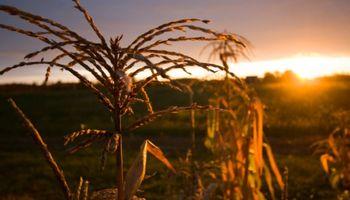 El maíz alcanzó un mínimo de 10 meses en Chicago