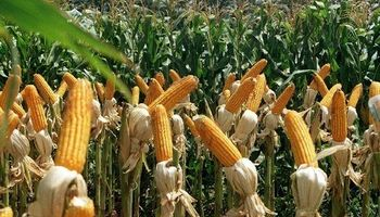 Por la mayor superficie de maíz, Don Mario apuesta por diversificarse