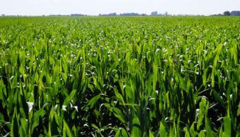 El maíz tardío gana terreno con mayor tecnología aplicada