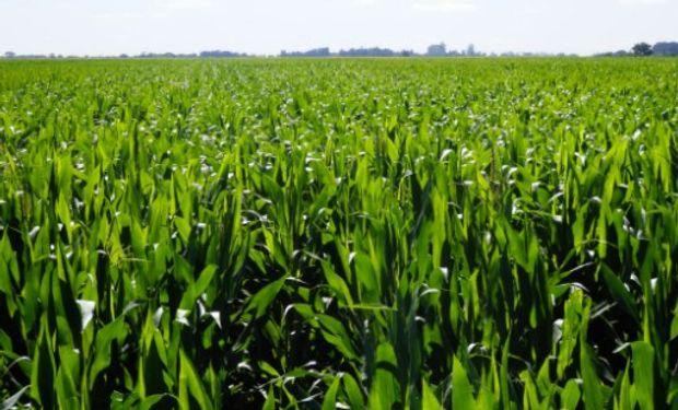 Datos publicados refieren a maíz de primera tardío y maíz de segunda.