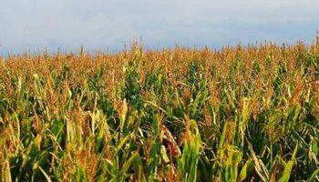 Pronóstico favorable para el maíz sobre regiones afectadas