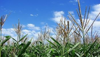 Suben estimación de maíz en Estados Unidos