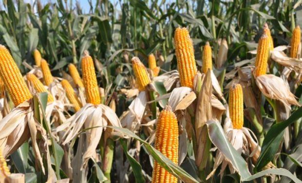 Con 38 millones de toneladas, el cereal argentino bate récord.