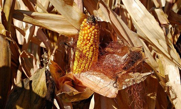"""""""Este año, en la zona núcleo, los fletes y gastos comerciales se llevan casi el 50% del precio que recibe el productor por su maíz colocado en Rosario"""" explicó Santiago del Solar."""