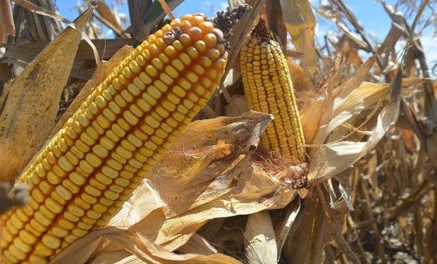 Fue la mejora del precio interno del grano, que ronda el 90% de aumento en términos nominales, el factor determinante en la rentabilidad del cultivo.