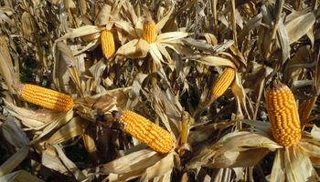¿Cuál fue el ingreso bruto del maíz en Santa Fe?