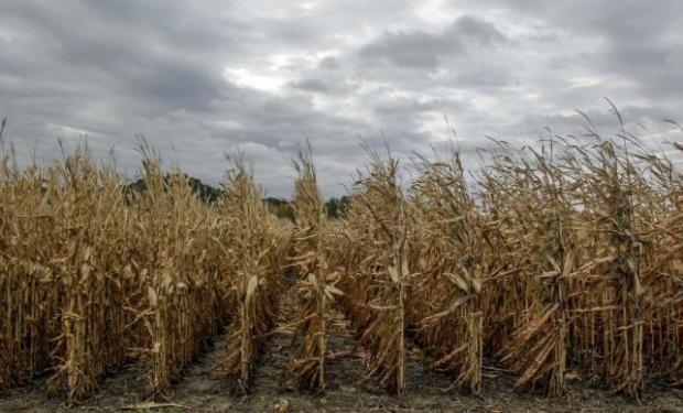 58 quintales es el rinde promedio del maíz en el NOA. Este año hay que sacar 125 quintales para no perder plata.