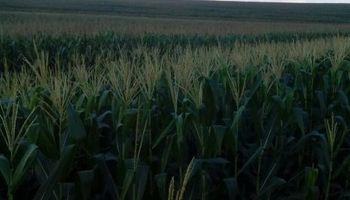 Clima golpeó fuerte al maíz en Brasil