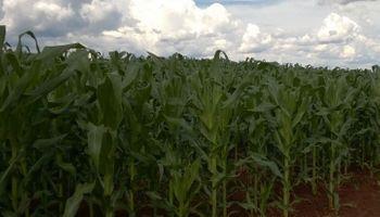 Brasil: precios récord e importación de maíz