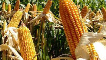 Brasil se quedó sin maíz