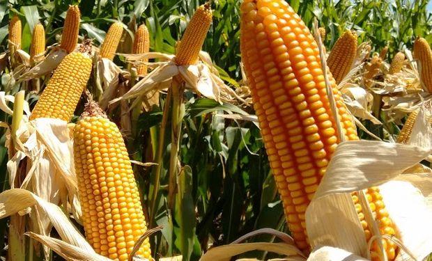 Brasil se quedó sin maíz luego de una furia exportadora.