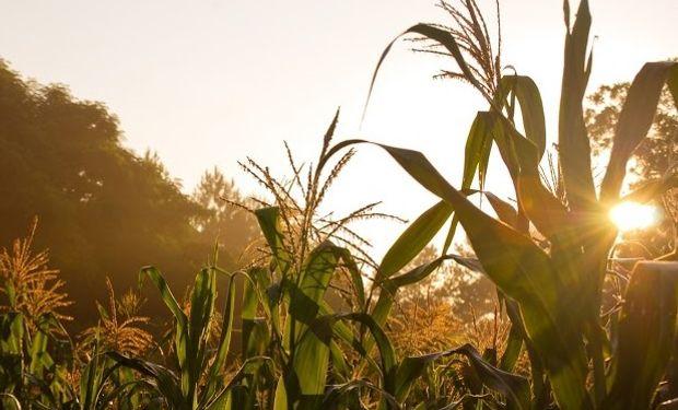 El maíz en Chicago alcanzó un máximo de seis semanas.