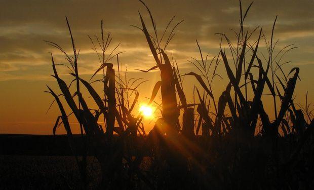 MAÍZ. El USDA reportó el día de ayer que la siembra ya cubre el 34% del área.